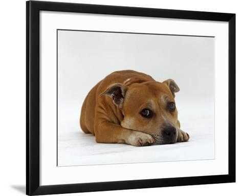Red Staffordshire Bull Terrier Bitch, 3 Years Old, Lying with Head Down-Jane Burton-Framed Art Print