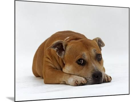 Red Staffordshire Bull Terrier Bitch, 3 Years Old, Lying with Head Down-Jane Burton-Mounted Photographic Print