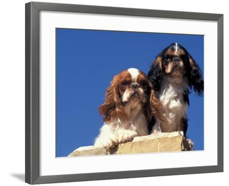 Two King Charles Cavalier Spaniel Adults on Wall-Adriano Bacchella-Framed Art Print