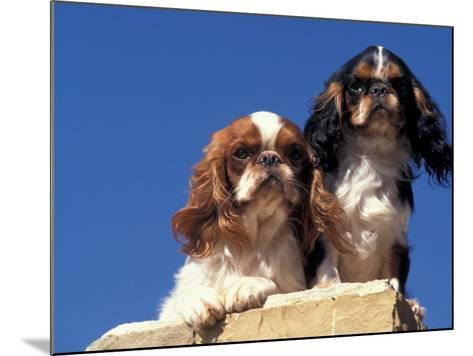Two King Charles Cavalier Spaniel Adults on Wall-Adriano Bacchella-Mounted Photographic Print