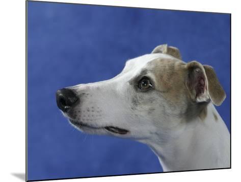 Head of Whippet Dog-Petra Wegner-Mounted Photographic Print