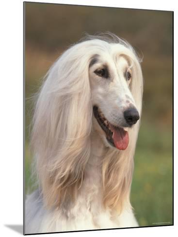 Domesti Dog, Afghan Hound Portrait-Adriano Bacchella-Mounted Photographic Print