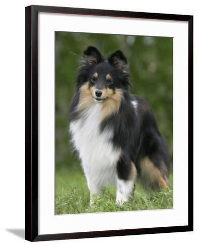 Sheltie Dog Outdoors-Petra Wegner-Framed Art Print