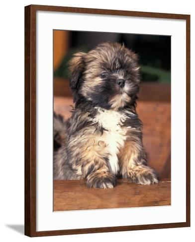Lhasa Apso Puppy Portrait-Adriano Bacchella-Framed Art Print