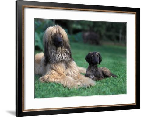 Domestic Dogs, Afghan Hound Lying on Grass with Puppy-Adriano Bacchella-Framed Art Print