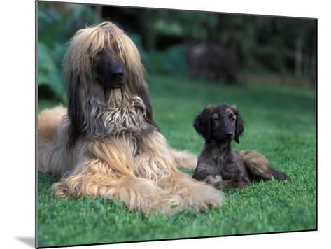 Domestic Dogs, Afghan Hound Lying on Grass with Puppy-Adriano Bacchella-Mounted Photographic Print