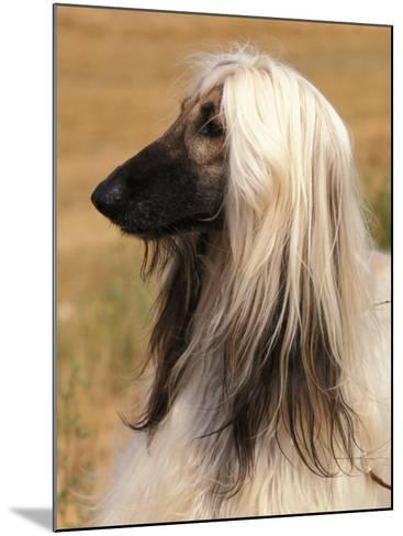 Afghan Hound Profile-Adriano Bacchella-Mounted Photographic Print