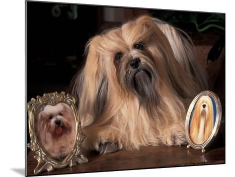 Lhasa Apso with Framed Pictures of Other Lhasa Apsos-Adriano Bacchella-Mounted Photographic Print