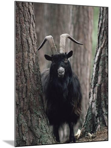 Feral Goat Male in Pinewood (Capra Hircus), Scotland-Niall Benvie-Mounted Photographic Print