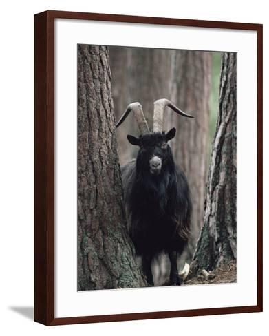 Feral Goat Male in Pinewood (Capra Hircus), Scotland-Niall Benvie-Framed Art Print