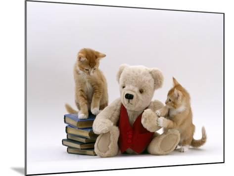 Domestic Cat, Two Red Burmese-Cross Kittens with Teddy Bear-Jane Burton-Mounted Photographic Print