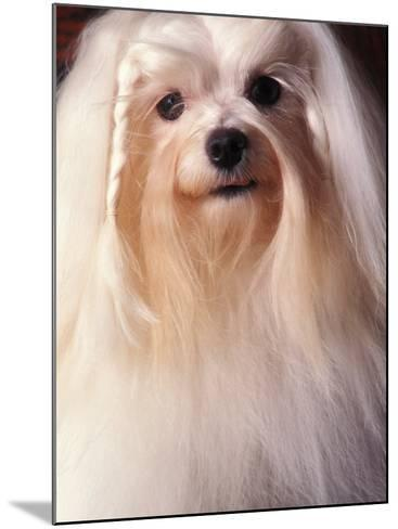Maltese with Hair Plaited-Adriano Bacchella-Mounted Photographic Print