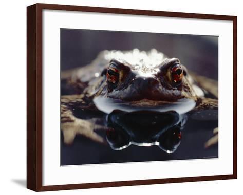 Common European Toad Female Portrait (Bufo Bufo) in Water, England-Chris Packham-Framed Art Print