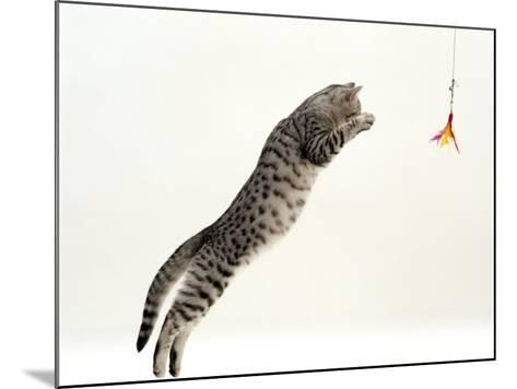 Domestic Cat, 5-Month Silver Spotted Shorthair Male, Jumping at Lure, Full Stretch, Back Hollow-Jane Burton-Mounted Photographic Print