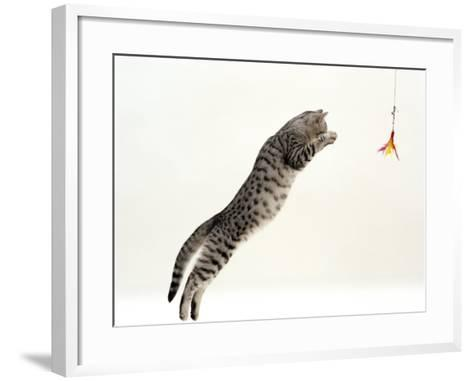 Domestic Cat, 5-Month Silver Spotted Shorthair Male, Jumping at Lure, Full Stretch, Back Hollow-Jane Burton-Framed Art Print