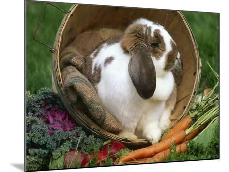 French Lop Eared Rabbit in a Tub-Lynn M^ Stone-Mounted Photographic Print