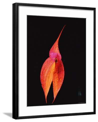 Masdevallia Orchid Flower, Machu Picchu, Peru, Sth America-Pete Oxford-Framed Art Print