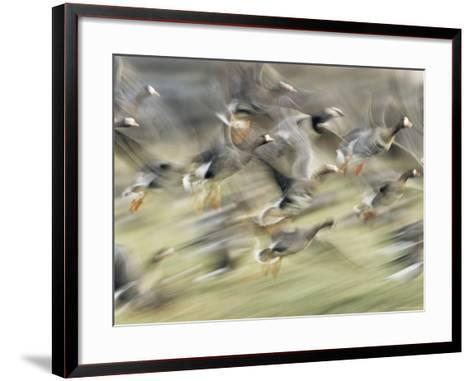 White Fronted Geese, Taking off from Field, Europe-Dietmar Nill-Framed Art Print
