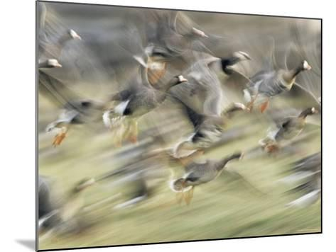 White Fronted Geese, Taking off from Field, Europe-Dietmar Nill-Mounted Photographic Print