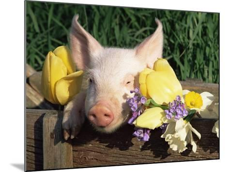 Mixed Breed Domestic Piglet, USA-Lynn M^ Stone-Mounted Photographic Print