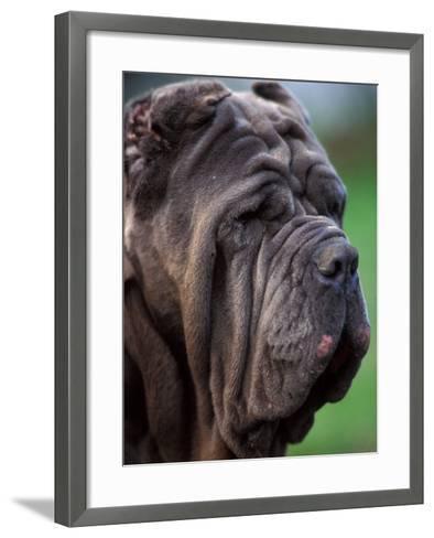 Neopolitan Mastiff Face Portrait-Adriano Bacchella-Framed Art Print