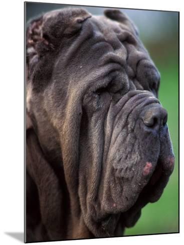 Neopolitan Mastiff Face Portrait-Adriano Bacchella-Mounted Photographic Print