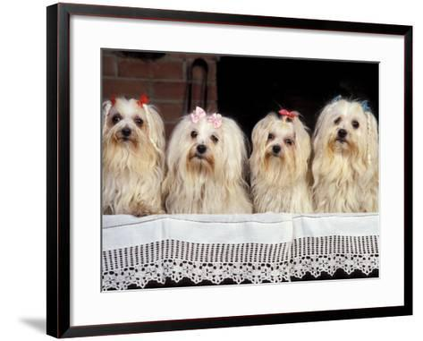 Domestic Dogs, Four Maltese Dogs Sitting in a Row, All with Bows in Their Hair-Adriano Bacchella-Framed Art Print