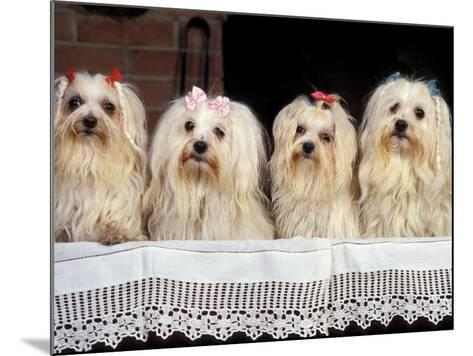 Domestic Dogs, Four Maltese Dogs Sitting in a Row, All with Bows in Their Hair-Adriano Bacchella-Mounted Photographic Print