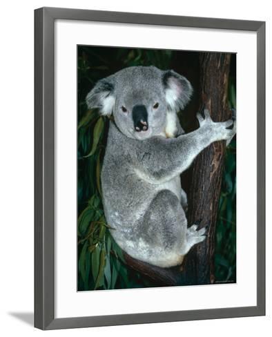 Koala, in Tree, Queensland, Australia-Lynn M^ Stone-Framed Art Print