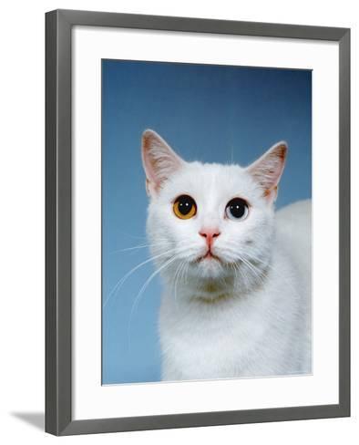 Domestic Cat, Odd-Eyed-Reinhard-Framed Art Print