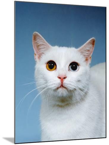 Domestic Cat, Odd-Eyed-Reinhard-Mounted Photographic Print