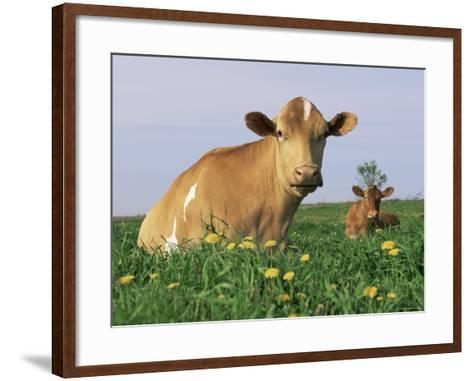 Guernsey Cows, at Rest in Field, Illinois, USA-Lynn M^ Stone-Framed Art Print