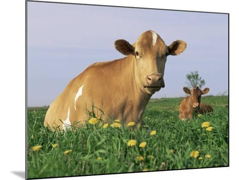 Guernsey Cows, at Rest in Field, Illinois, USA-Lynn M^ Stone-Mounted Photographic Print