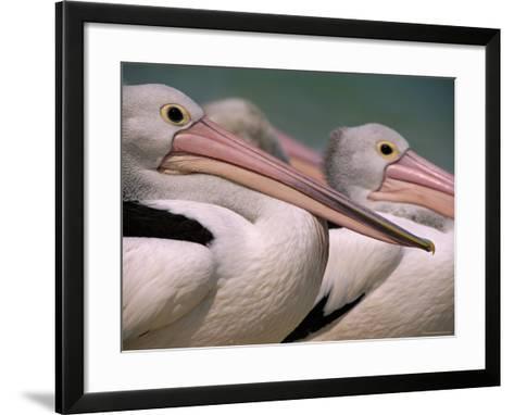 Australian Pelicans, Queensland, Australia-Staffan Widstrand-Framed Art Print