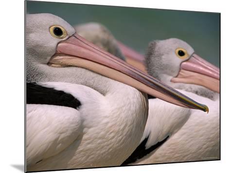 Australian Pelicans, Queensland, Australia-Staffan Widstrand-Mounted Photographic Print
