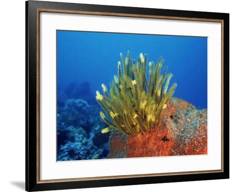 Yellow Featherstars on Sponge, Indo-Pacific-Jurgen Freund-Framed Art Print
