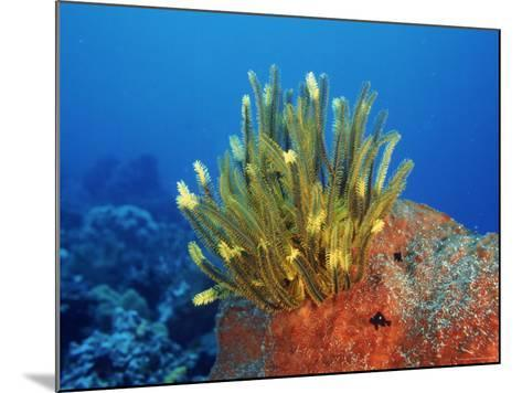Yellow Featherstars on Sponge, Indo-Pacific-Jurgen Freund-Mounted Photographic Print