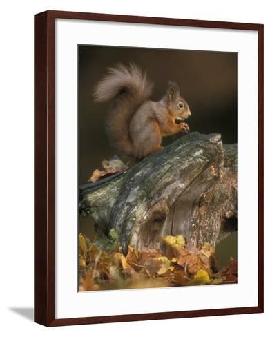 Red Squirrel, Autumn, Cairngorms National Park, Scotland-Pete Cairns-Framed Art Print