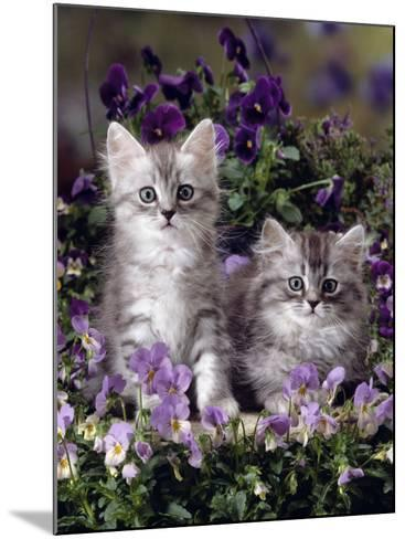 Domestic Cat, 8-Week, Two Fluffy Silver Tabby Kittens Amongst Winter-Flowering Pansies-Jane Burton-Mounted Photographic Print