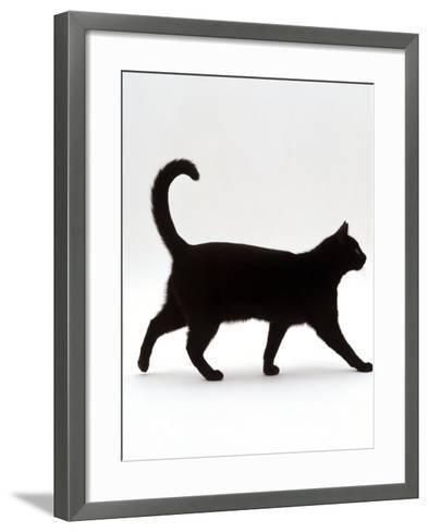 Domestic Cat, Black Short-Hair Male, Walking Profile-Jane Burton-Framed Art Print