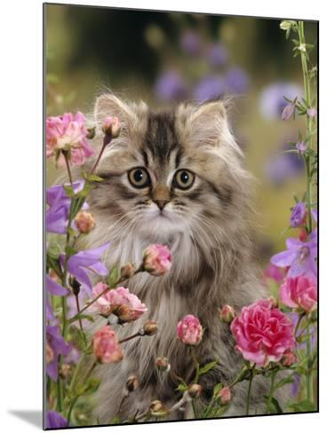 Domestic Cat, Portrait of Long Haired Tabby Persian Kitten Among Dwarf Roses and Bellflowers-Jane Burton-Mounted Photographic Print
