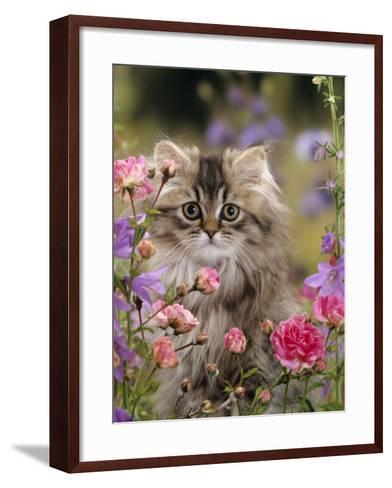 Domestic Cat, Portrait of Long Haired Tabby Persian Kitten Among Dwarf Roses and Bellflowers-Jane Burton-Framed Art Print