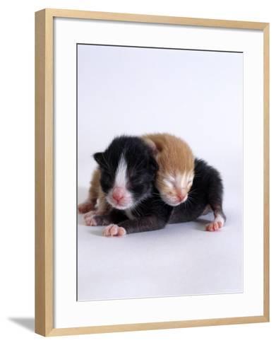 Domestic Cat, 1-Day Kittens Black-And-White and Ginger-Jane Burton-Framed Art Print