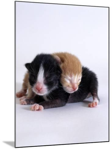Domestic Cat, 1-Day Kittens Black-And-White and Ginger-Jane Burton-Mounted Photographic Print