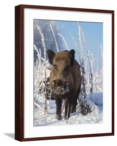 Wild Boar in Winter (Sus Scrofa), Europe-Reinhard-Framed Art Print