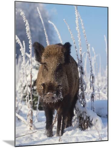 Wild Boar in Winter (Sus Scrofa), Europe-Reinhard-Mounted Photographic Print