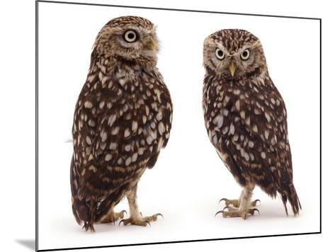 Pair of Little Owls-Jane Burton-Mounted Photographic Print