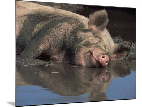 Domestic Pig Wallowing in Mud, USA-Lynn M^ Stone-Mounted Photographic Print