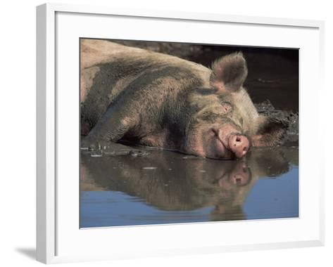 Domestic Pig Wallowing in Mud, USA-Lynn M^ Stone-Framed Art Print