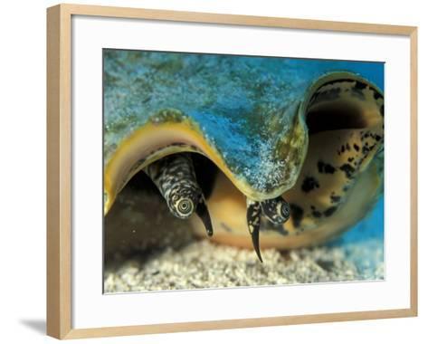 Eyes of Queen Conch, Caribbean (Strombus Gigas)-Jurgen Freund-Framed Art Print